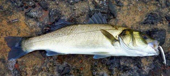 señuelos-pesca-lubina